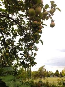 apple pick